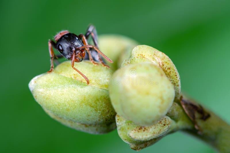 La formica bicolore di Arboreal, bellissima formica sull'albero della gloria del mattino con fondo verde, Thailandia fotografia stock