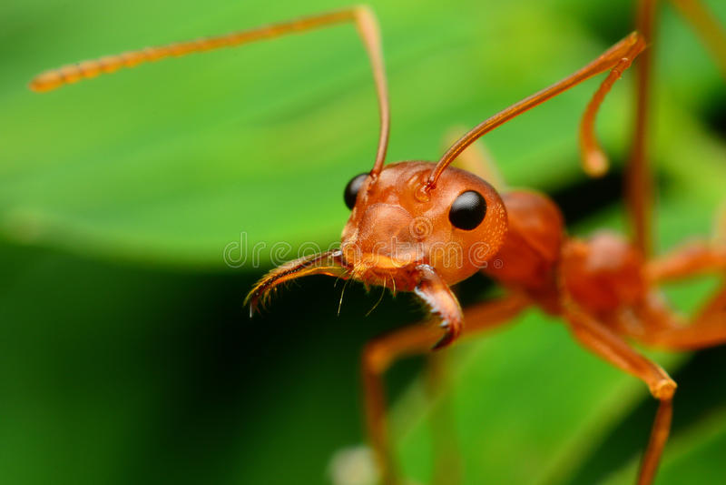 La formica rossa apre la sua bocca fotografia stock libera da diritti