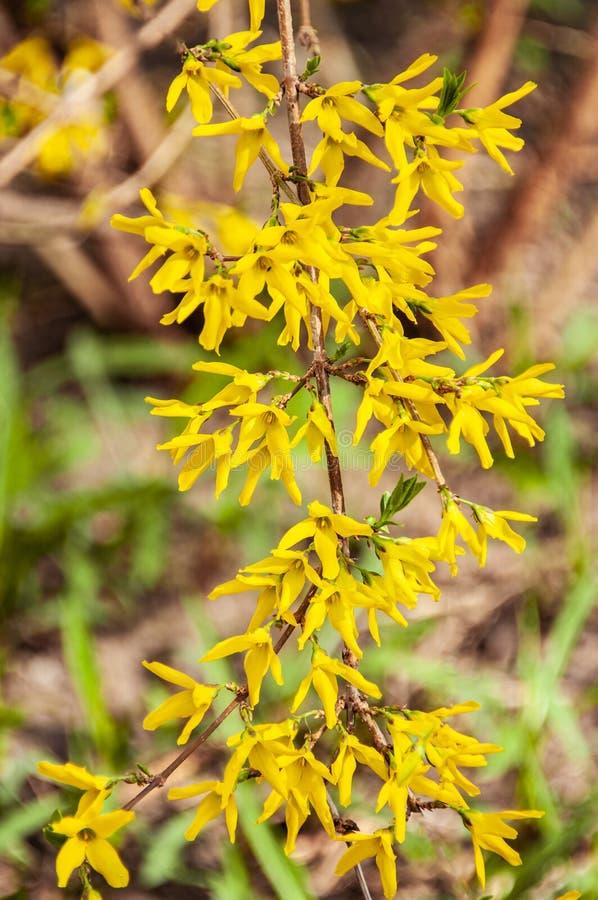 La forsythia de la frontera es un arbusto de hojas caducas ornamental del origen del jard?n La forsythia florece delante con de h fotografía de archivo