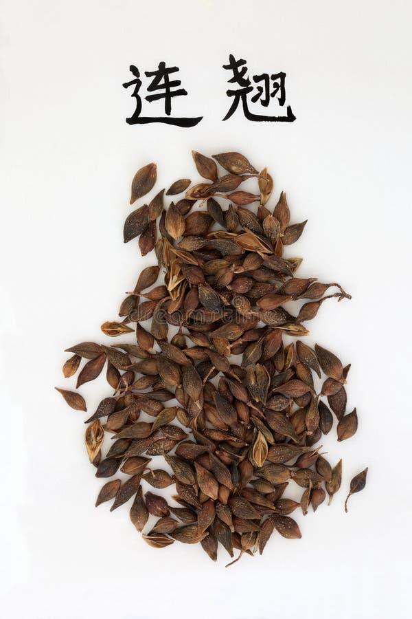 La forsythia piangente fruttifica erba immagini stock