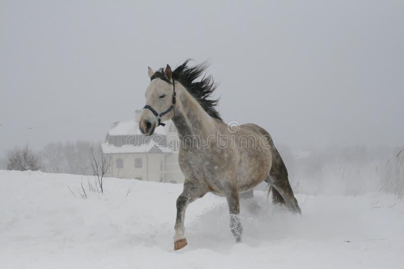 La foto a colori delle tonalità di grigio il cavallo ha chiuso gli occhi sul galoppo leggero fotografia stock libera da diritti