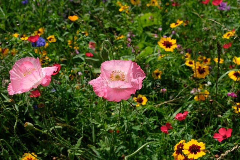 La foto de la amapola rosada florece en un prado de flores salvajes, adquirido un día soleado a mediados de verano en Eastcote, R imagenes de archivo