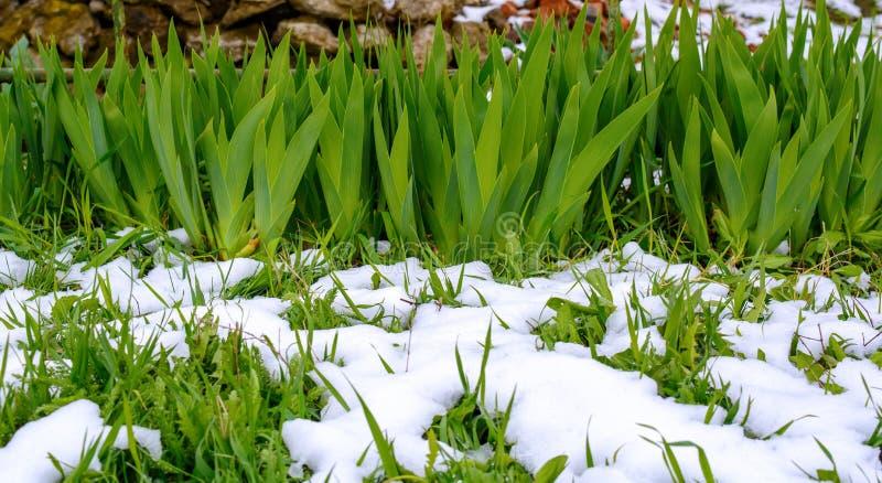 La foto de la hierba verde y de la flor se va despu?s de nieve que cae en primavera fotos de archivo libres de regalías