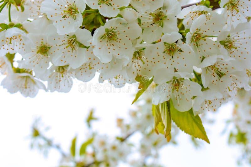 La foto del manzano floreciente ramifica contra el cielo fotos de archivo libres de regalías