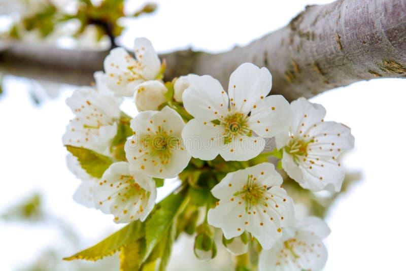 La foto del manzano floreciente ramifica contra el cielo imagen de archivo libre de regalías