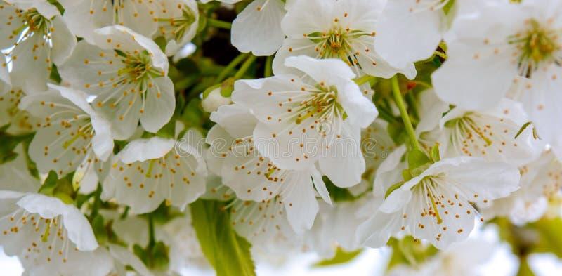 La foto del manzano floreciente ramifica contra el cielo foto de archivo