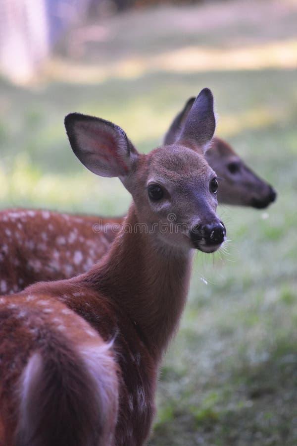 La foto impresionante de un blanco joven ató ciervos imagenes de archivo
