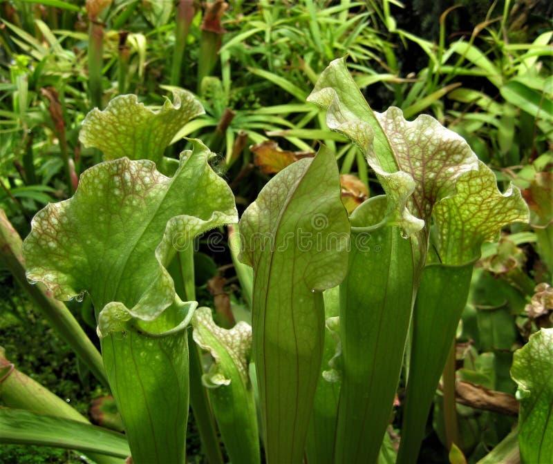 La foto macra con el fondo decorativo de plantas tropicales florece depredadores fotografía de archivo libre de regalías