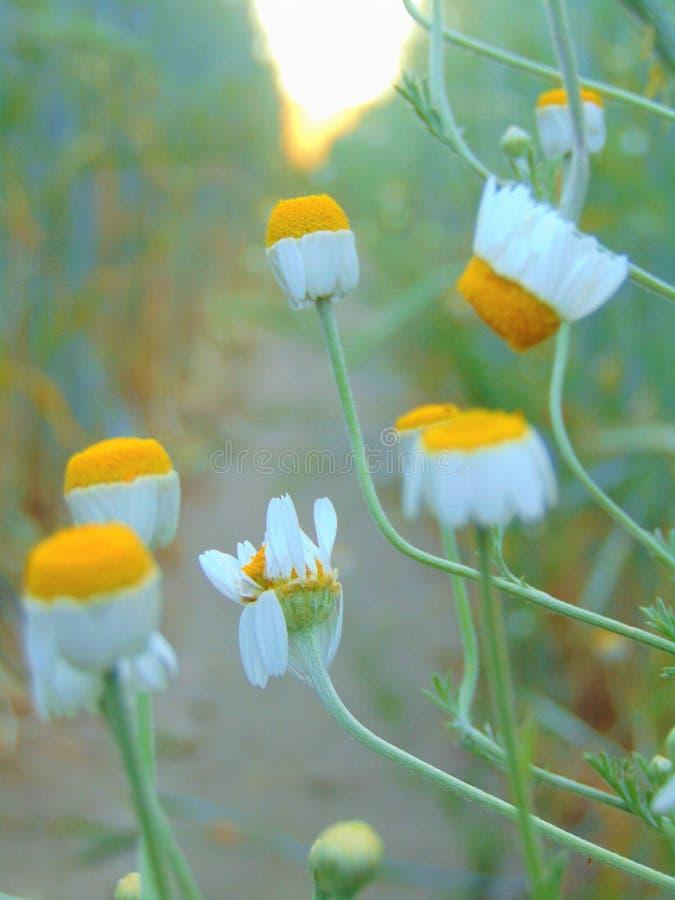 La foto macra con las plantas medicinales de un fondo natural florece margaritas salvajes imagen de archivo libre de regalías