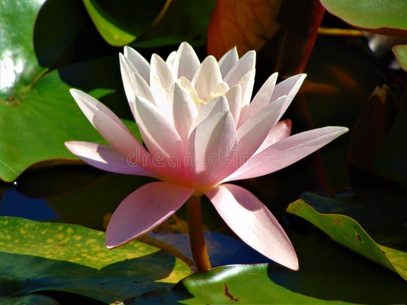 La foto macra con los pétalos púrpuras del verano de una textura decorativa del fondo del jardín florece el lirio de agua foto de archivo libre de regalías