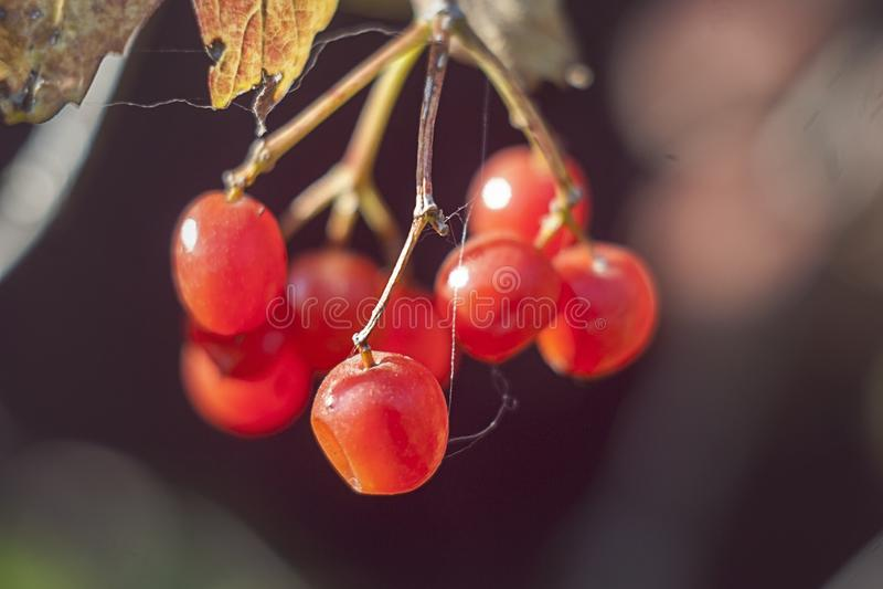 La foto macra del viburnum, bayas rojas en el otoño, guelder subió imagen de archivo