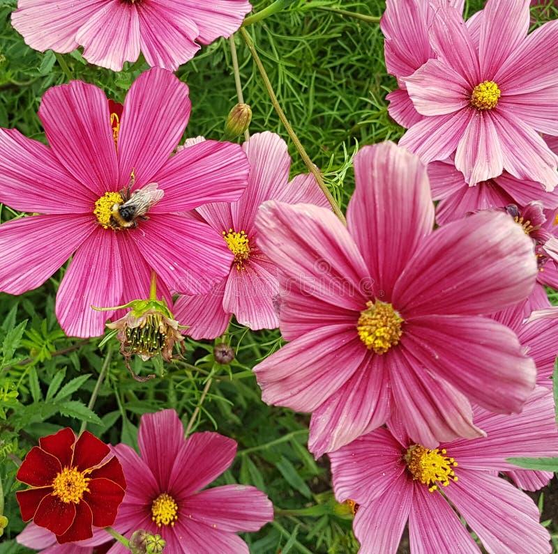 La foto rosada brillante del cosmos florece en hierba con la abeja fotos de archivo