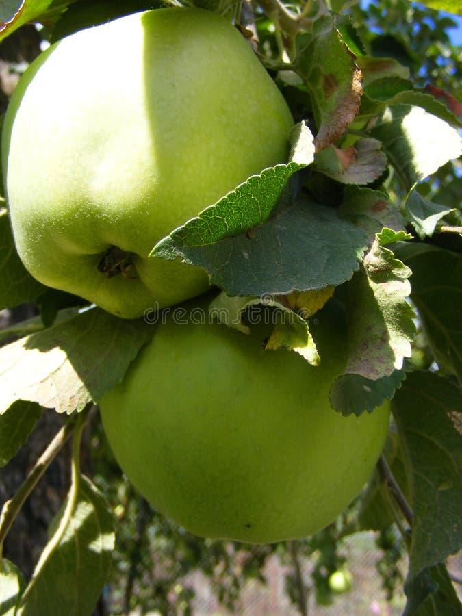 La foto verticale delle mele organiche verdi si chiude su fotografia stock libera da diritti