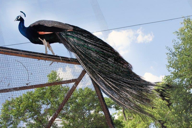 La fotografia di concetto del pavone della struttura più bella immagini stock