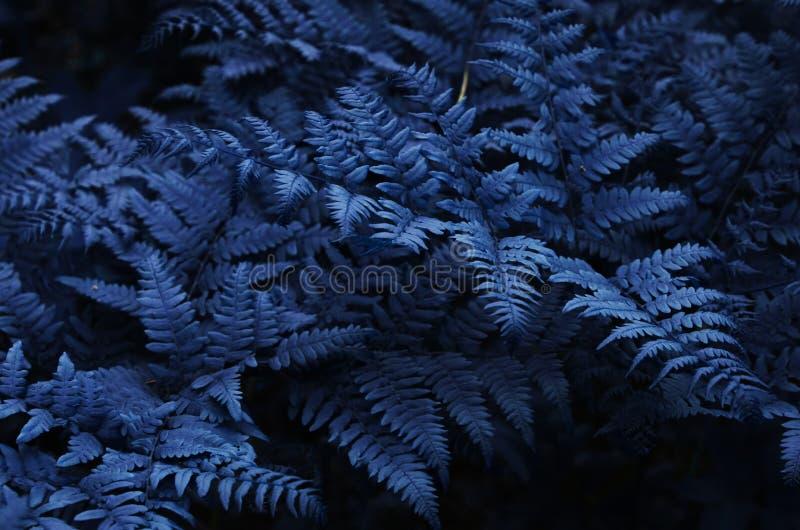 La fougère naturelle laisse étroit  Photo modifi?e la tonalit? bleue de feuille d'ornement photo libre de droits