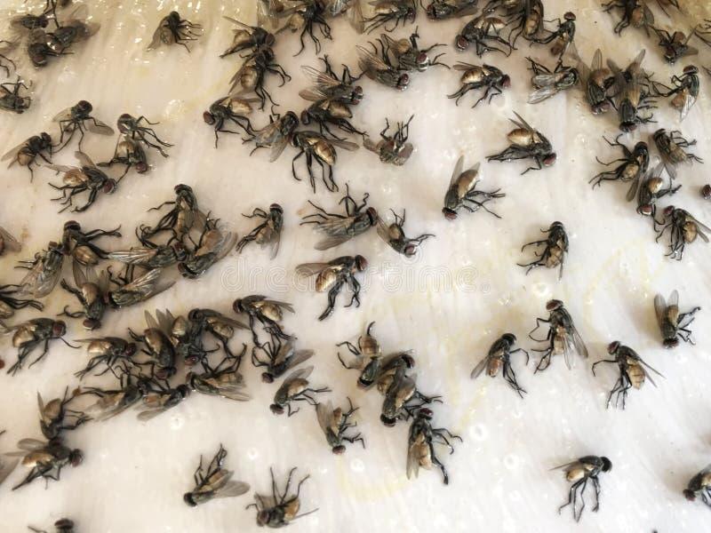 La foule des mouches sont attrapées par le piège de colle sur le papier images libres de droits