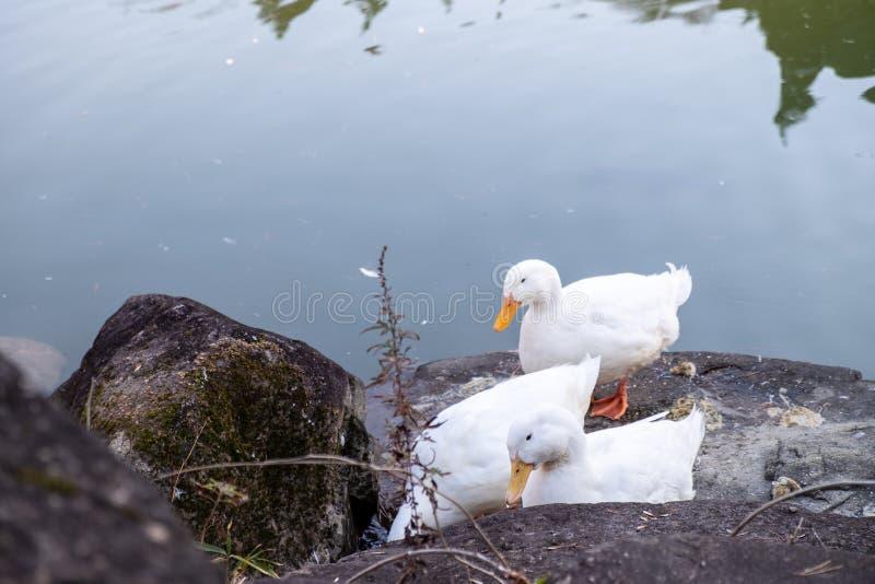 la foule du canard blanc va nager dans la piscine images stock