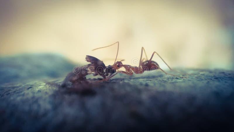 La fourmi images libres de droits