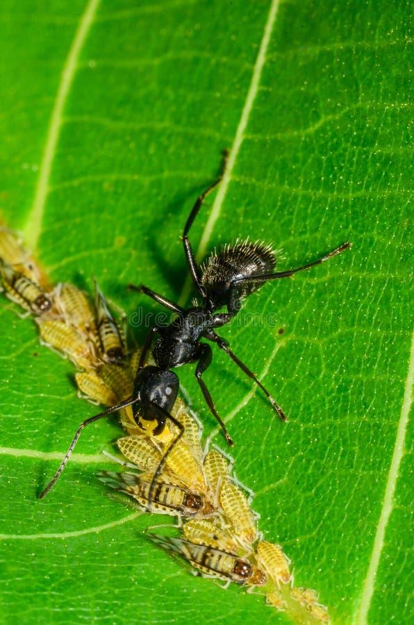 La fourmi noire tendant des aphis de juglandis de Panaphis sur la noix poussent des feuilles photographie stock