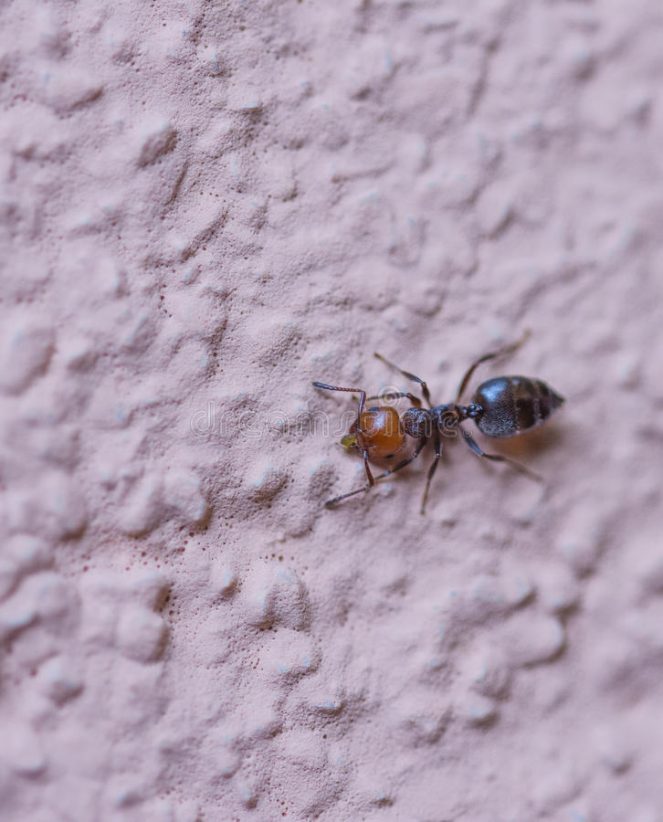 La fourmi rouge photos libres de droits