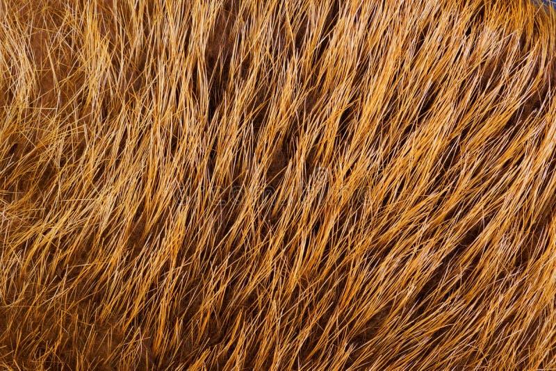 La fourrure des peaux de castor d'animaux à fourrure bronzées avec la laine Fourrure — les cheveux mammifères, se protègent contr image libre de droits