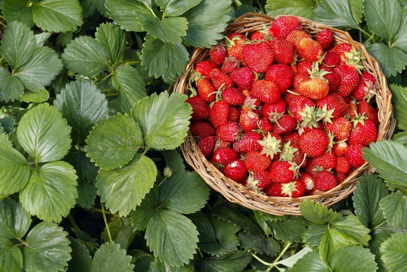 La fraise dans un panier en bois dans le jardin sur le vert part du fond photo stock