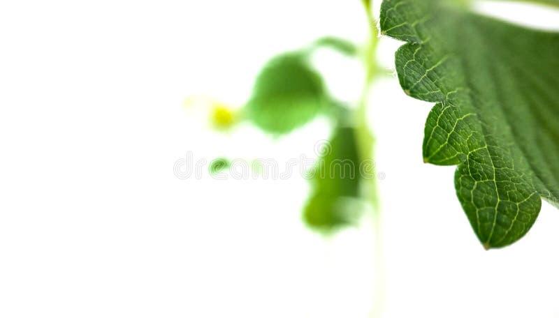 La fraise verte laisse le plan rapproch? sur un fond blanc Macro veines photo stock