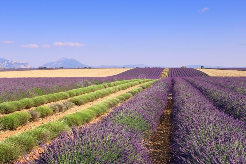 La Francia, paesaggi della Provenza: Giacimenti della lavanda del raccolto fotografia stock