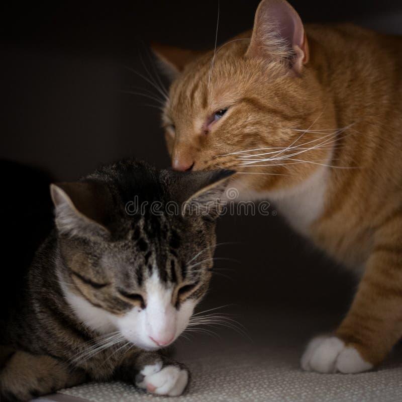 La fraternidad de dos gatos imagenes de archivo