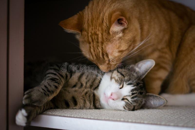 La fraternidad de dos gatos foto de archivo libre de regalías