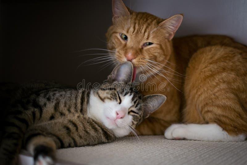 La fraternidad de dos gatos fotografía de archivo libre de regalías