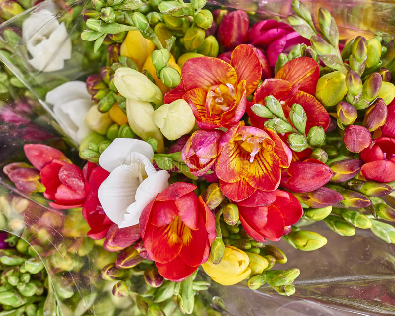 La fresia fresca florece el primer foto de archivo libre de regalías
