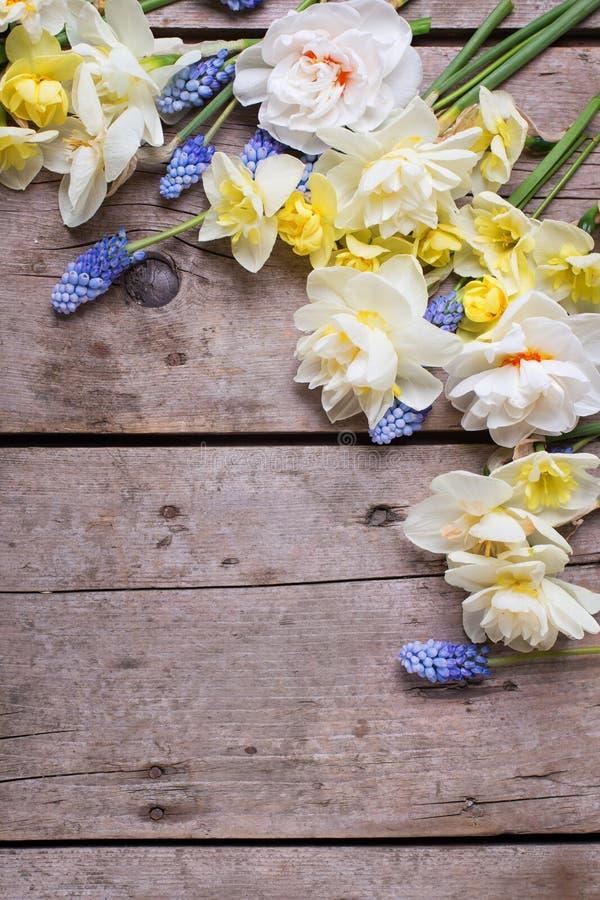 La frontera del narciso colorido de la primavera, muscaries florece en Rus imagenes de archivo