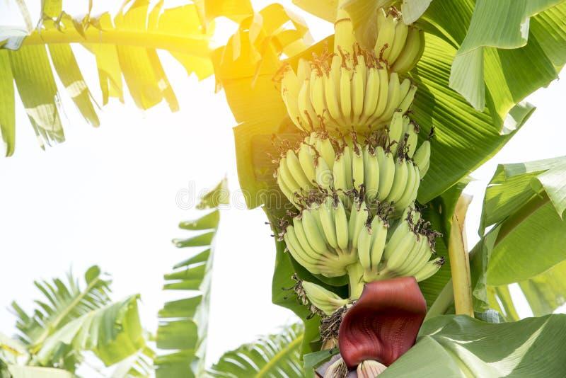 La fruta cruda del pl?tano con el pl?tano se va en naturaleza fotografía de archivo libre de regalías