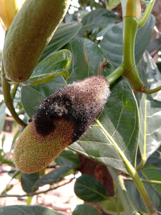 La fruta de Jack estropeó en hongos fotos de archivo