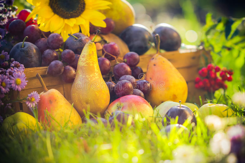 La fruta de la huerta del otoño cosecha puesta del sol de la hierba fotografía de archivo libre de regalías