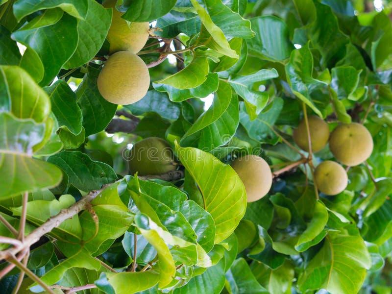La fruta de Santol es madura en el árbol imagen de archivo
