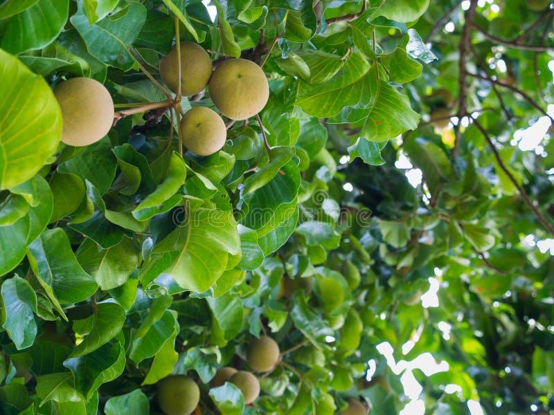 La fruta de Santol es madura en el árbol fotos de archivo
