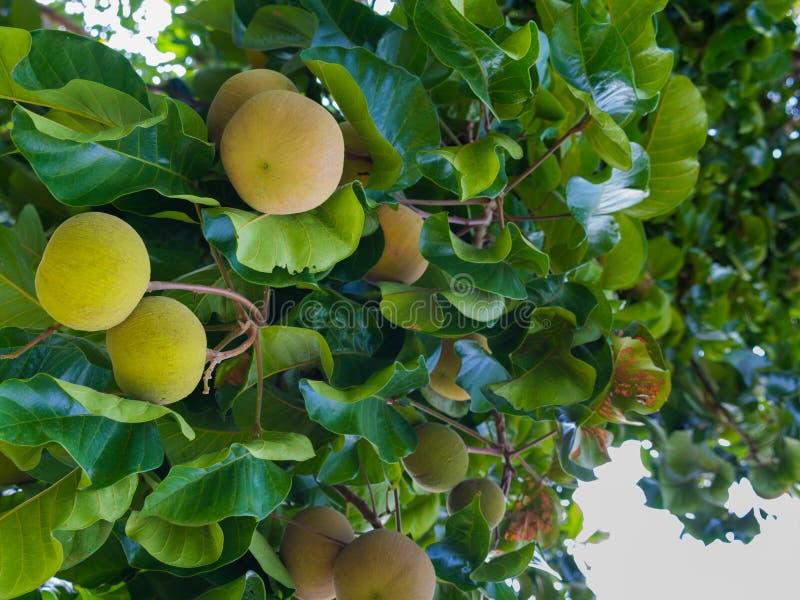 La fruta de Santol es madura en el árbol fotografía de archivo libre de regalías