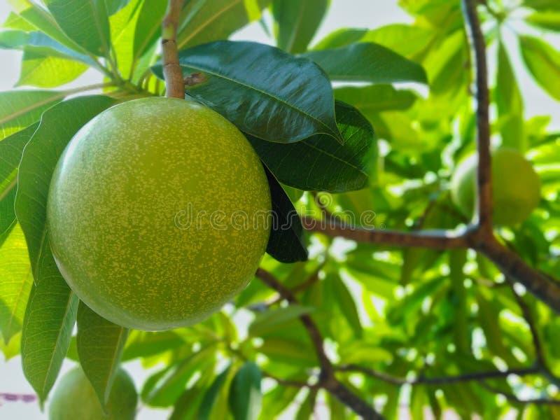 La fruta del pyrifolia de Purus tiene un efecto verde como las hojas imagen de archivo libre de regalías