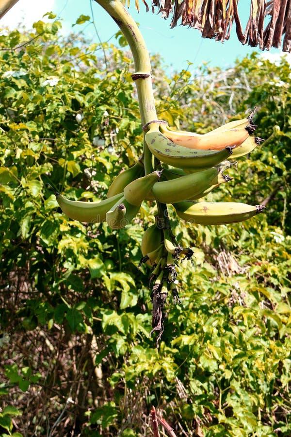 La fruta exótica adentro caribben la tierra imagen de archivo libre de regalías
