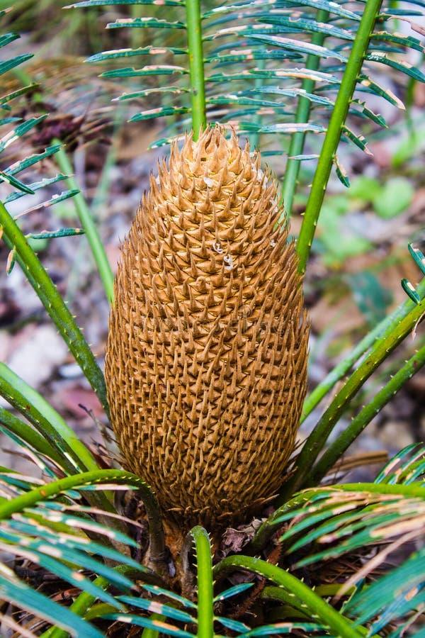 La fruta exótica de una palmera foto de archivo libre de regalías