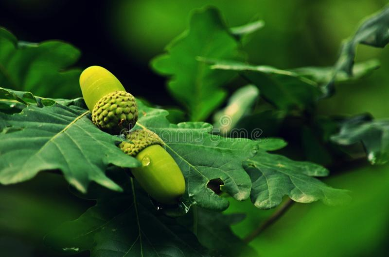 La fruta inglesa del roble foto de archivo