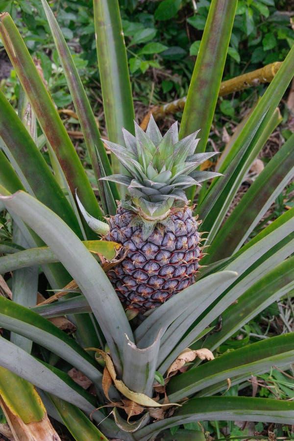 La fruta joven de la piña crece en una plantación en Indonesia imagen de archivo