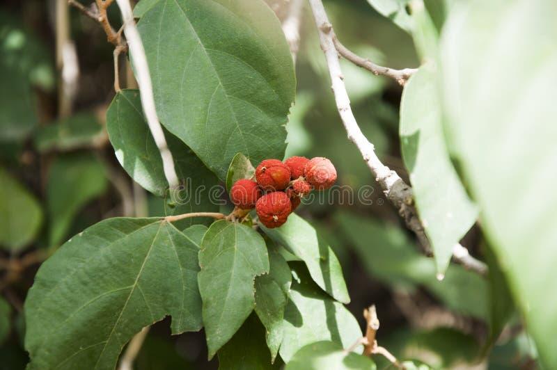 La fruta y las hierbas del higo fotografía de archivo