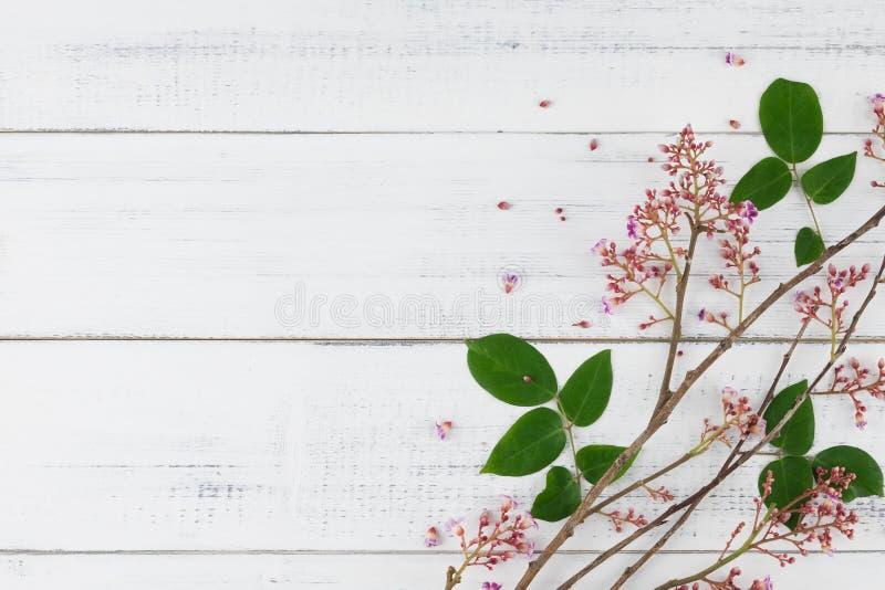 La frutta di stella rosa fiorisce con il ramo e le foglie verdi fotografie stock