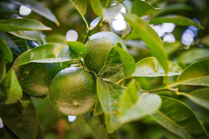 La frutta verde del mandarino si sviluppa su un ramo di un albero tropicale fotografia stock