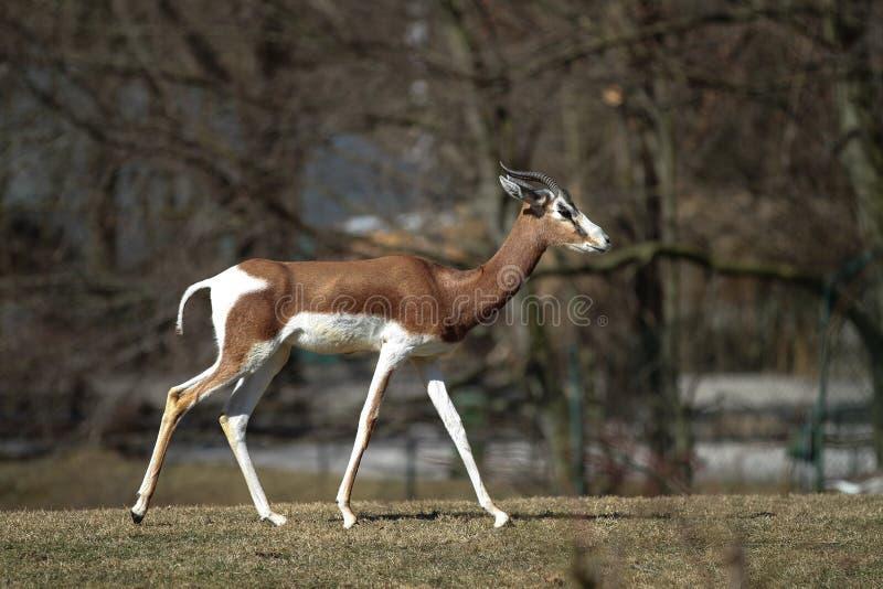 La gacela del Dama, mhorr del dama del Gazella o gacela del mhorr es una especie de gacela fotos de archivo libres de regalías