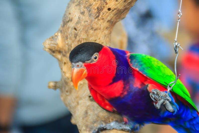 La gamba incatenata nero-ha ricoperto il pappagallo del lory che guarda così triste e agoniz immagini stock