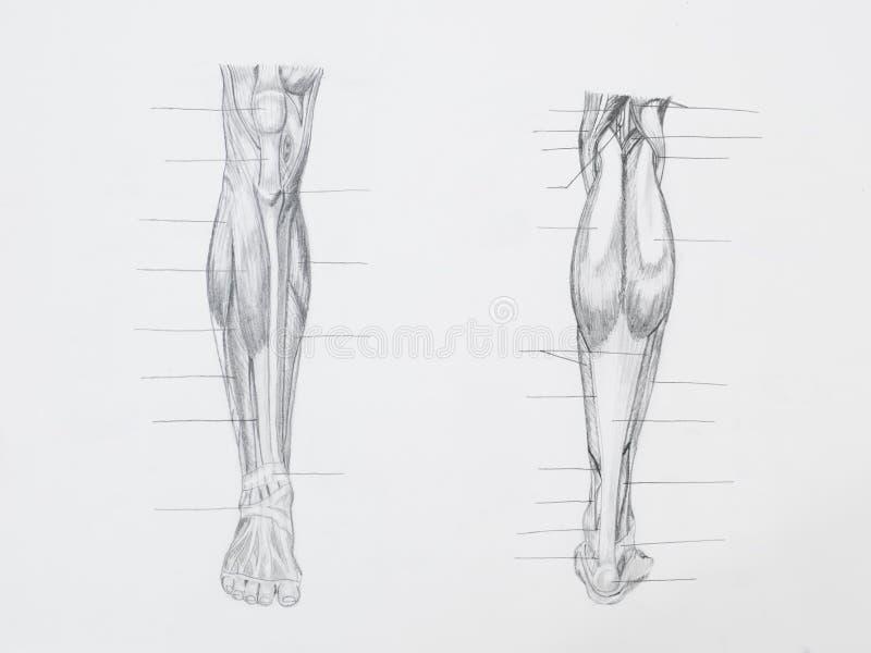 La gamba muscles il disegno a matita fotografia stock